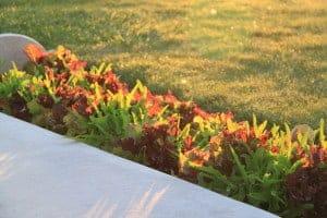 sunny lettuce