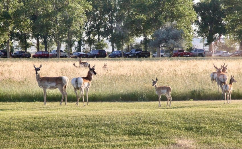 Wyoming Wildlife, Pronghorn Antelope | Wyoming resident and author of Your 6-Week Guide to LiveBest shares favorite things to do in Casper. www.LiveBest.info